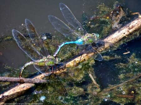 Common Green Darner dragonflies (mating pair, in tandem)