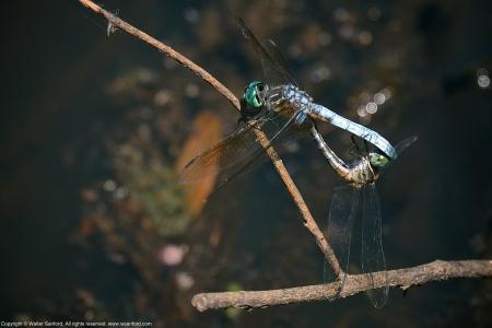 Blue Dasher dragonflies (mating pair, in wheel)