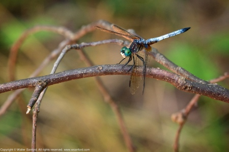 Blue Dasher dragonfly (male)