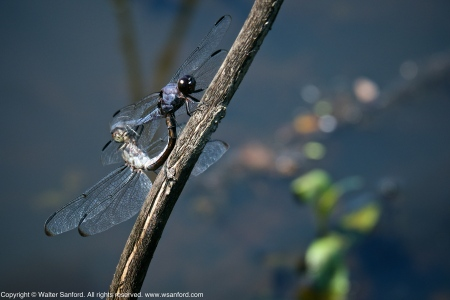 Slaty Skimmer dragonflies (mating pair, in wheel)