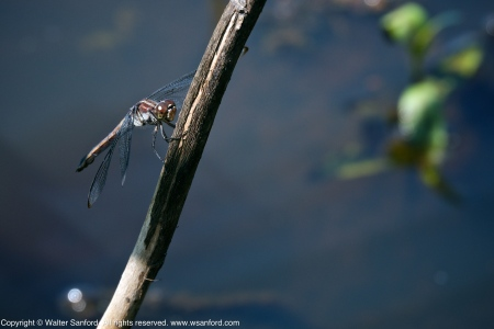 Slaty Skimmer dragonfly (female, resting after copulation)