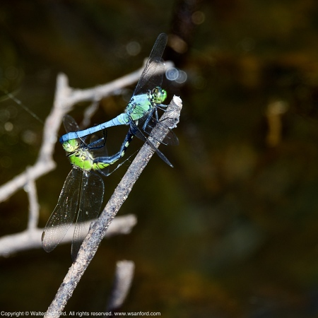 Eastern Pondhawk dragonflies (mating pair, in wheel)