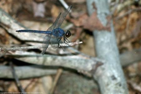 Slaty Skimmer dragonfly (mature male)