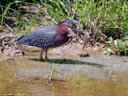 Green Heron (eating a frog)