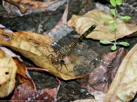 Blue Dasher dragonfly (teneral female)
