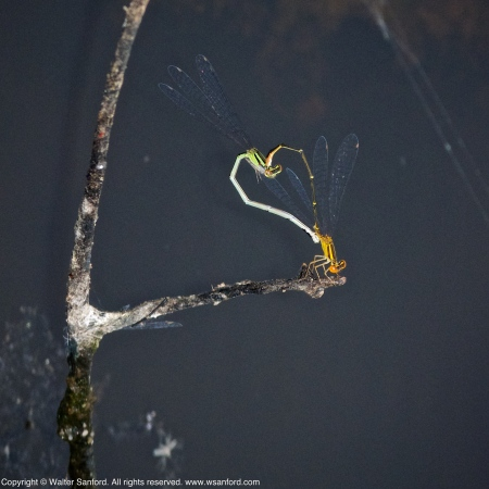 Orange Bluet damselflies (mating pair, in wheel)