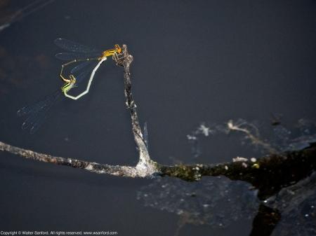 Orange Bluet damselflies (mating pair, in wheel)