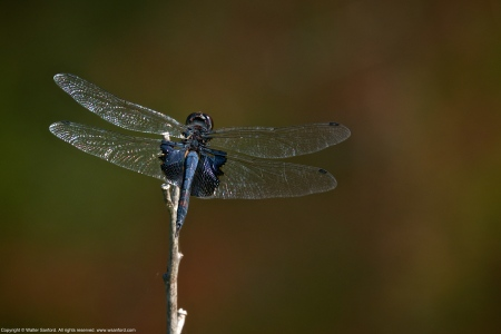 Black Saddlebags dragonfly (male)