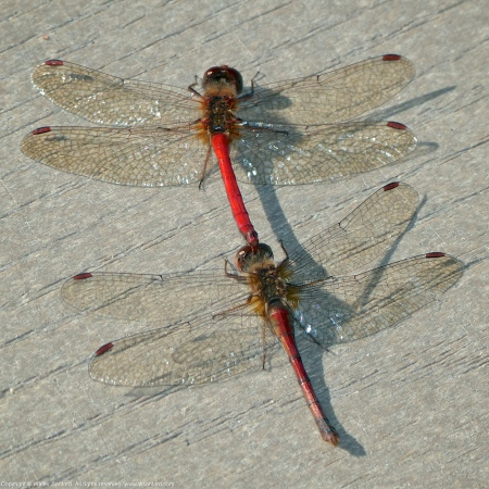 Autumn Meadowhawk dragonflies (mating pair, in tandem)
