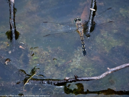 Blue Dasher dragonfly (female, oviposition, in flight)