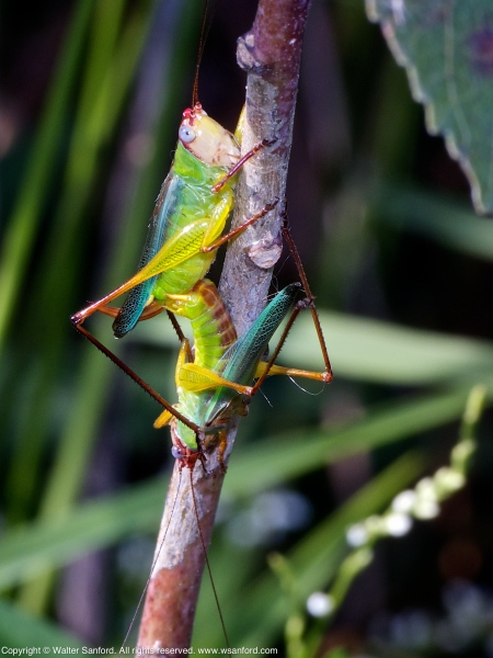Handsome Meadow Katydids (mating pair)