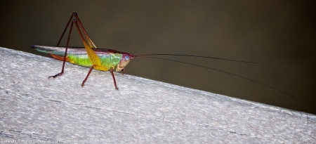 Handsome Meadow Katydid (female)