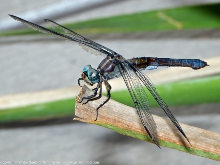 Great Blue Skimmer dragonfly (mature adult female)