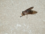 15 September 2014. Photo 3. Horse fly (female).