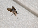 15 September 2014. Photo 2. Horse fly (female).