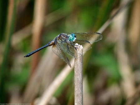 Blue Dasher dragonfly (male, unusual coloration)