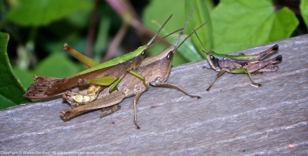Clip-wing Grasshoppers (mating pair)