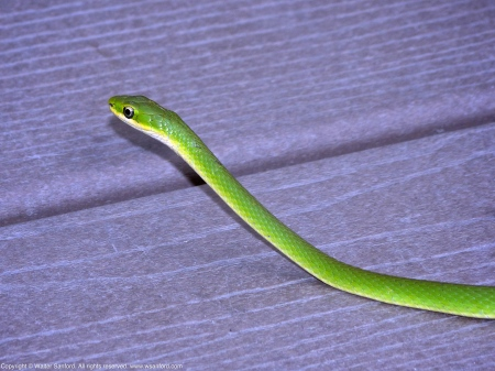 Northern Rough Greensnake (Opheodrys aestivus)