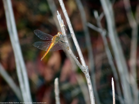 Wandering Glider dragonfly (male)