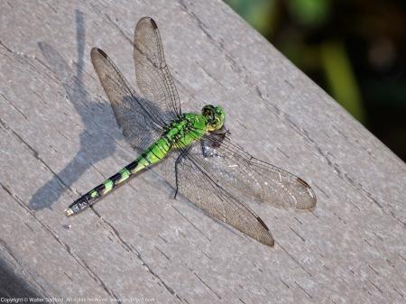 Eastern Pondhawk dragonfly (female, eating prey)