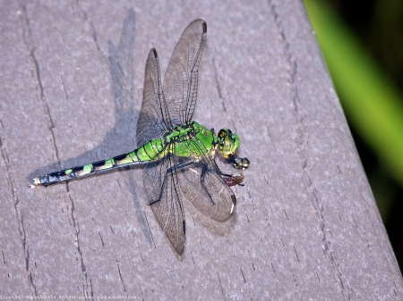 Eastern Pondhawk dragonfly (female, eating prey)