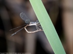 Slender Spreadwing damselfly (female, oviposition)