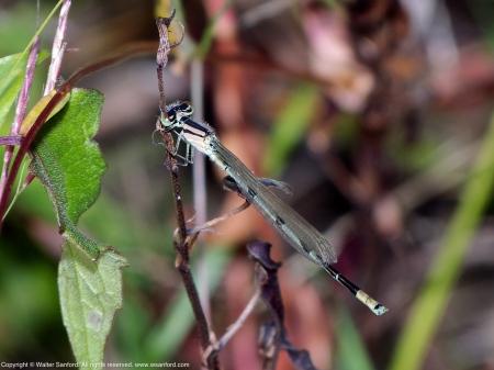 Familiar Bluet damselfly (female)