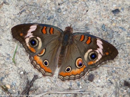 (Common) Buckeye butterfly (Junonia coenia)