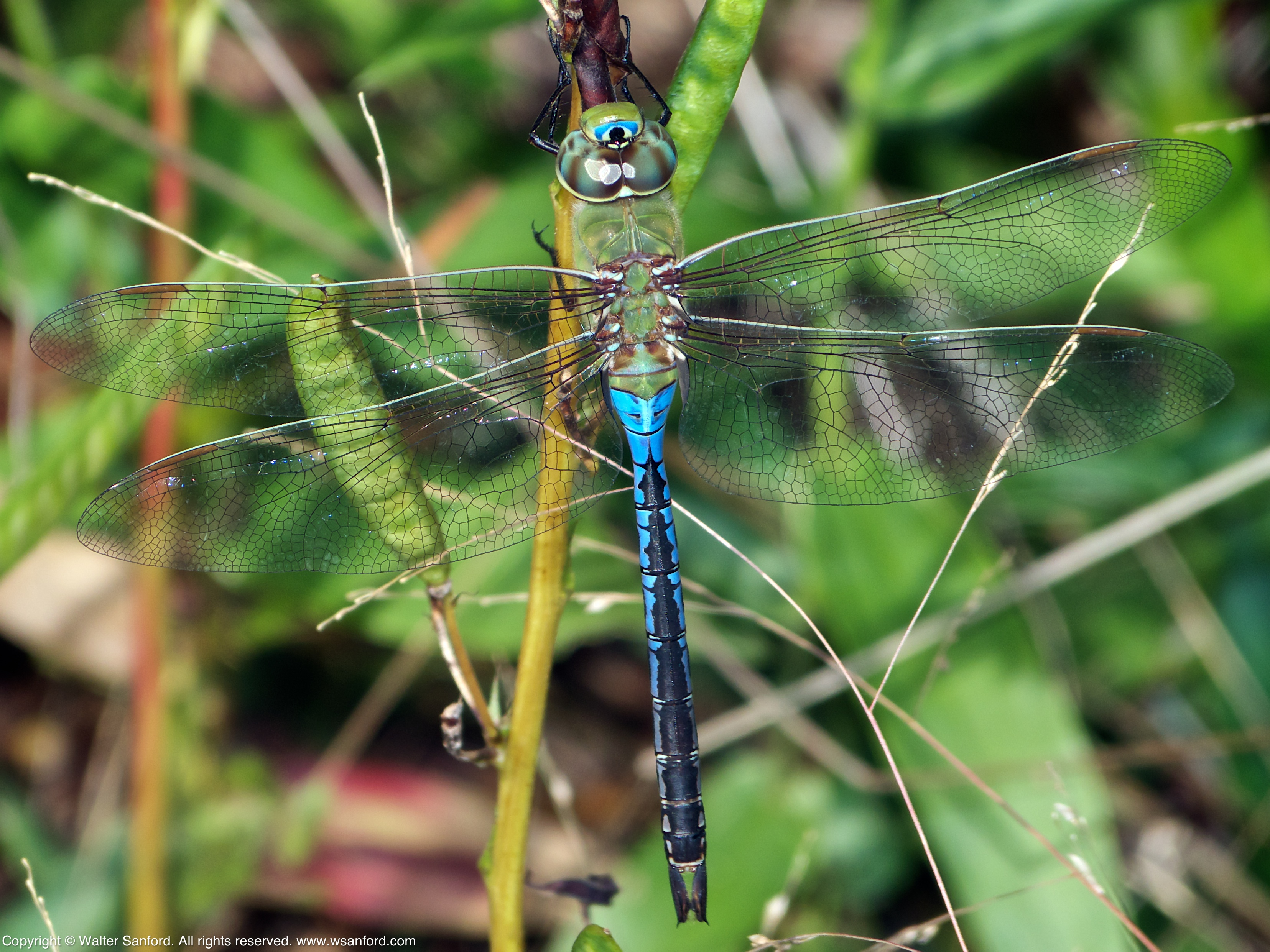 Green dragonfly pictures - photo#35