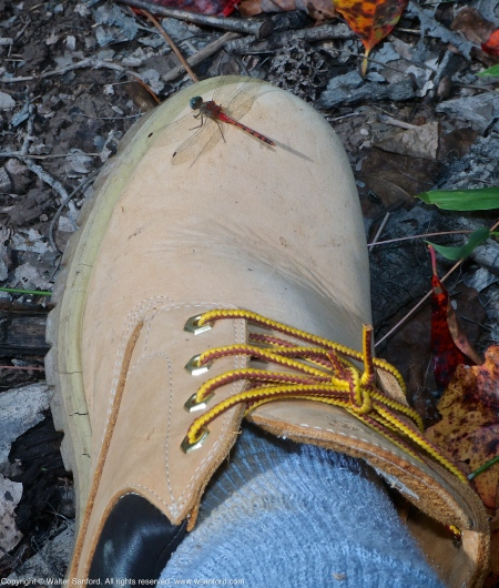 Blue-faced Meadowhawk dragonfly (male, perching on my Timberland Boot)