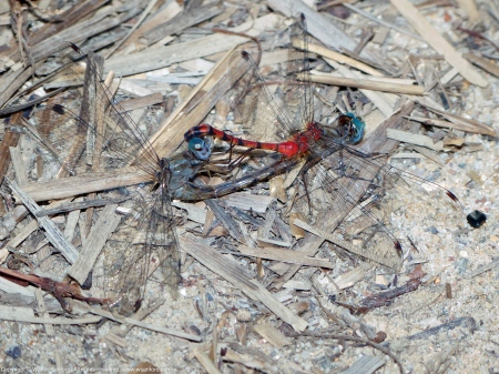 Blue-faced Meadowhawk dragonflies (mating pair, in wheel)