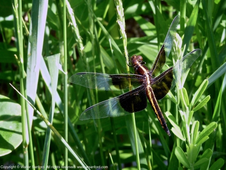 Widow Skimmer dragonfly (immature male)