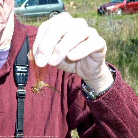 Golden-winged Skimmer dragonfly (male)