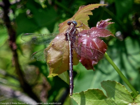 Clubtail dragonfly (female)