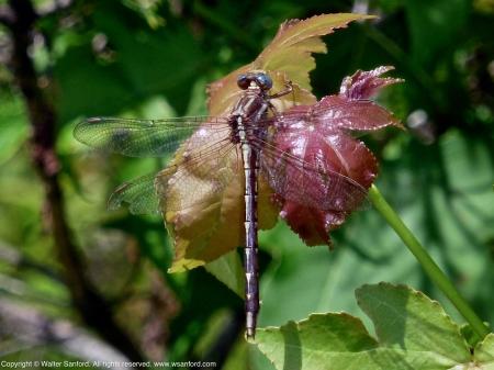 Clubtail dragonfly (female)