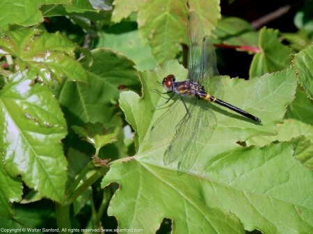 Double-ringed Pennant dragonfly (immature male)