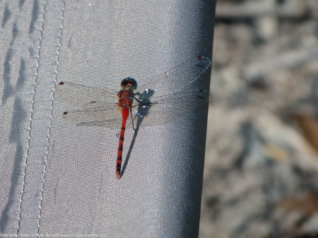 Blue-faced Meadowhawk dragonfly (male, perching on Coleman camp stool)