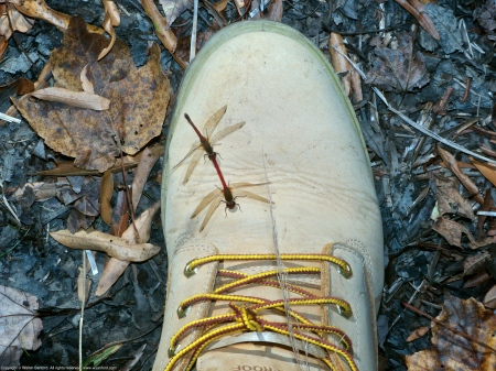 Autumn Meadowhawk dragonflies (mating pair, in tandem, perching on my Timberland Boot)