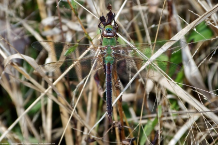 A Common Green Darner dragonfly (Anax junius) spotted at Huntley Meadows Park, Fairfax County, Virginia USA. This individual is a female.