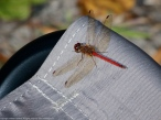 Autumn Meadowhawk dragonfly (male, perching on Coleman camp stool)