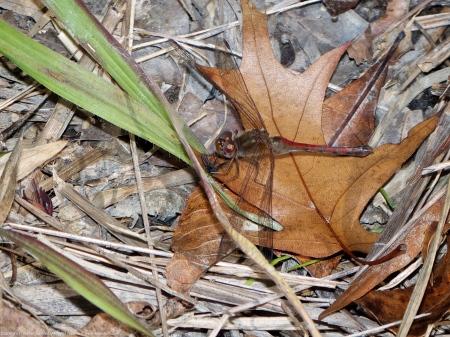 Autumn Meadowhawk dragonfly (female, eating unknown prey)