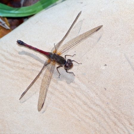 Autumn Meadowhawk dragonfly (female, perching on my Timberland Boot)