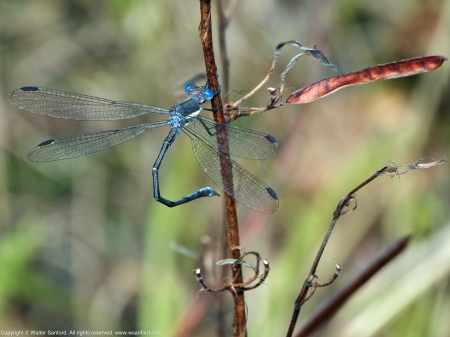 Great Spreadwing damselfly (male)
