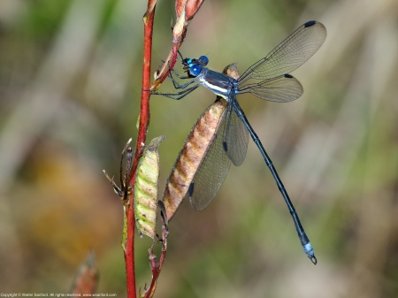 Great Spreadwing damselfly (male, eating an unknown smaller insect)