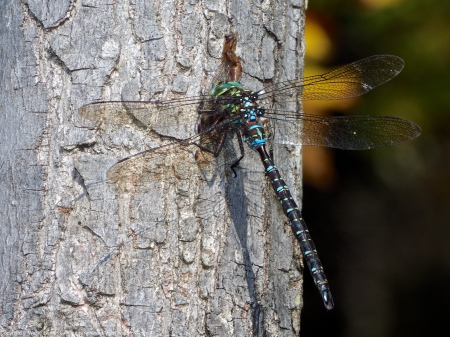 Shadow Darner dragonfly (male, eating an Autumn Meadowhawk dragonfly)