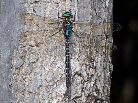 Shadow Darner dragonfly (male)