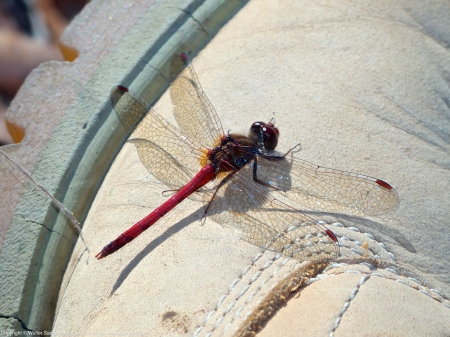 Autumn Meadowhawk dragonfly (male, perching on my Timberland Boot)
