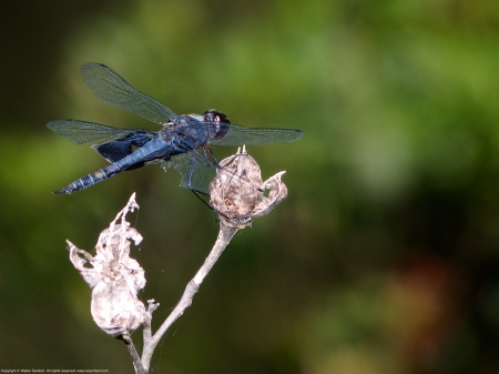 Black Saddlebags dragonfly (male)