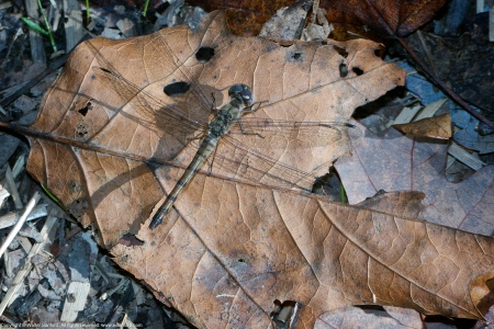 Blue-faced Meadowhawk dragonfly (heteromorph female)