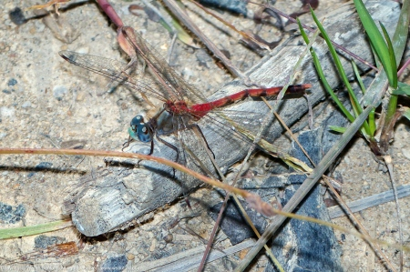 Blue-faced Meadowhawk dragonfly (male, malformed abdomen)